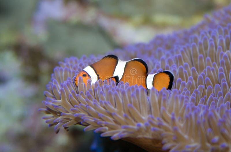πλάγια όψη ψαριών κλόουν στοκ εικόνες