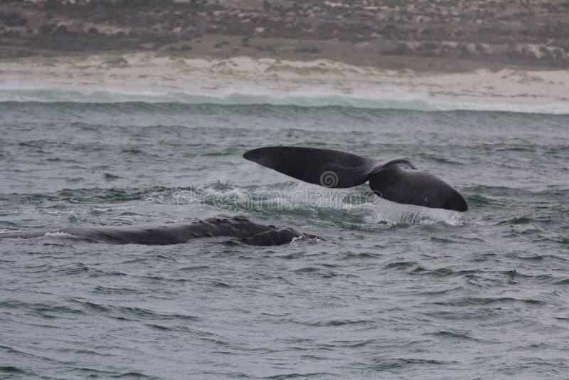 Πλάτη και ουρά των νότιων σωστών φαλαινών που κολυμπούν κοντά στο Hermanus, δυτικό ακρωτήριο διάσημα βουνά kanonkop της Αφρικής κ στοκ εικόνες με δικαίωμα ελεύθερης χρήσης