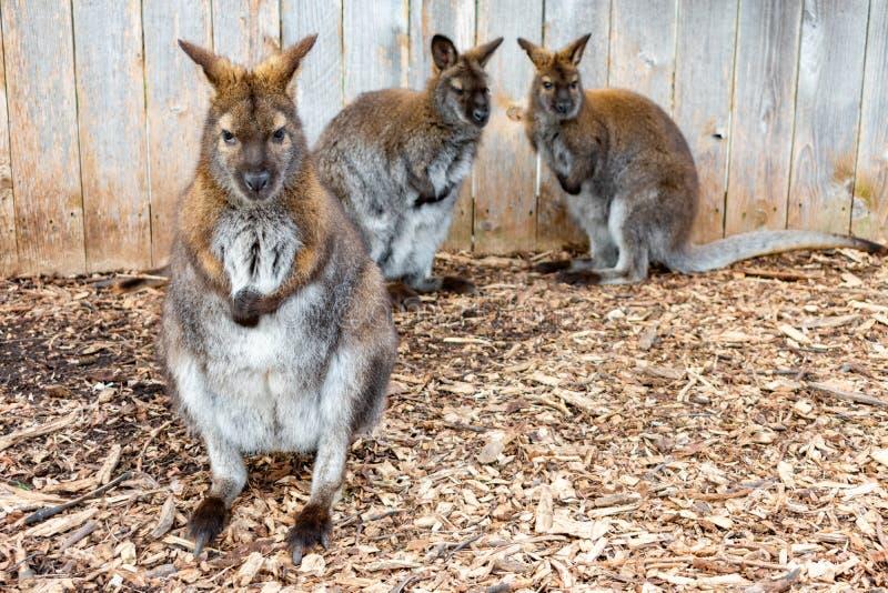 Πλήρες πορτρέτο Wallaby μήκους με δύο στο υπόβαθρο μπροστά από έναν φράκτη στοκ εικόνα