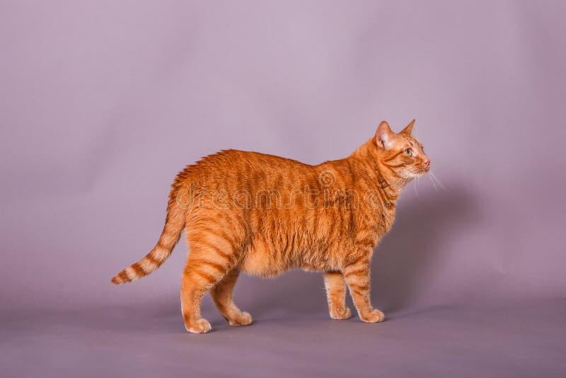 Πλήρες σχεδιάγραμμα σωμάτων της πορτοκαλιάς τιγρέ γάτας στο πορτρέτο στούντιο στοκ φωτογραφίες με δικαίωμα ελεύθερης χρήσης
