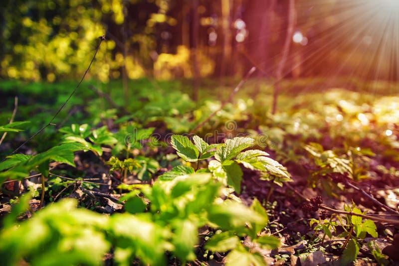 πλήρης άνοιξη λιβαδιών πικραλίδων ανασκόπησης κίτρινη Πράσινες εγκαταστάσεις στο έδαφος στο δάσος και τις ακτίνες του φωτός του ή στοκ φωτογραφία με δικαίωμα ελεύθερης χρήσης
