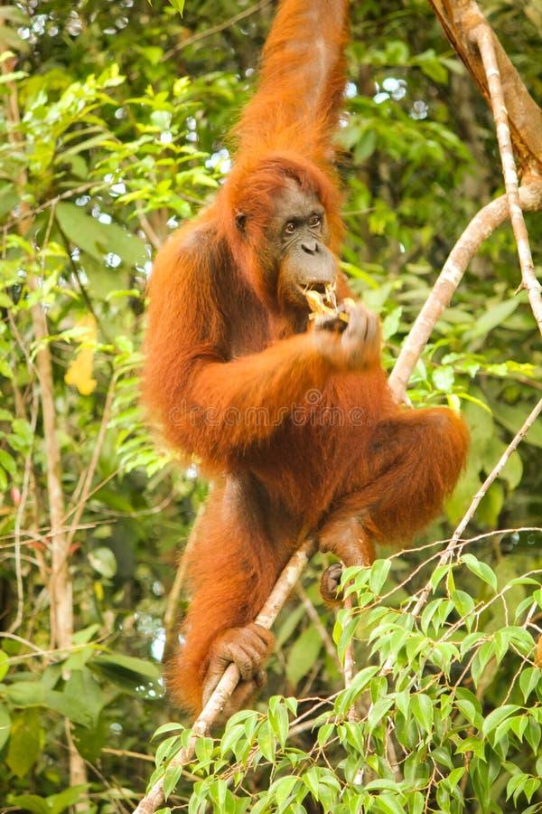 Πλήρης εικόνα μήκους θηλυκός orangutan που κρεμά σε ένα δέντρο στο Μπόρνεο τρώγοντας στοκ φωτογραφία με δικαίωμα ελεύθερης χρήσης