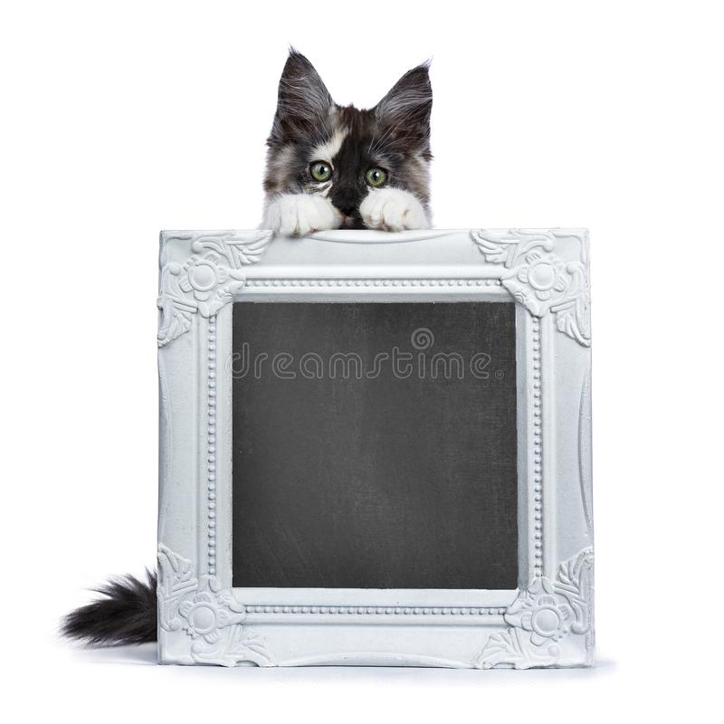 Πλαίσιο φωτογραφιών εκμετάλλευσης γατακιών γατών του Μαίην Coon στοκ φωτογραφία με δικαίωμα ελεύθερης χρήσης