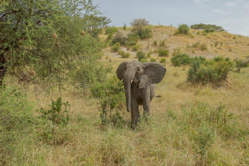 Πλαστή δαπάνη από έναν νέο αφρικανικό ελέφαντα στην Αφρική στοκ εικόνα