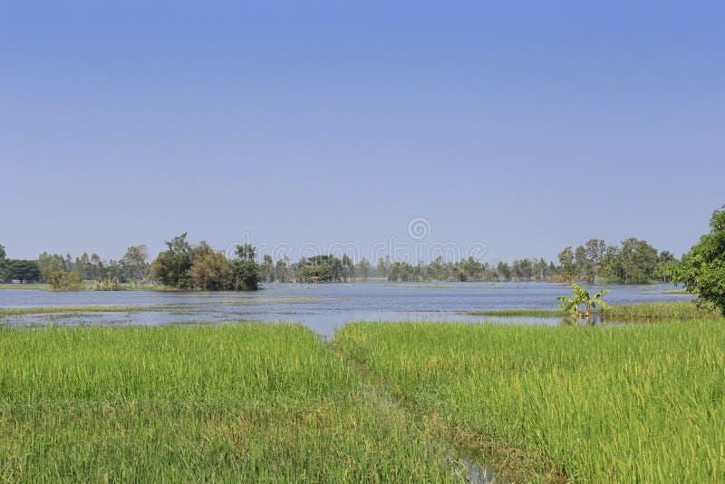 Πλημμυρίζοντας τομείς ρυζιού νερού στην Ταϊλάνδη στοκ φωτογραφία με δικαίωμα ελεύθερης χρήσης