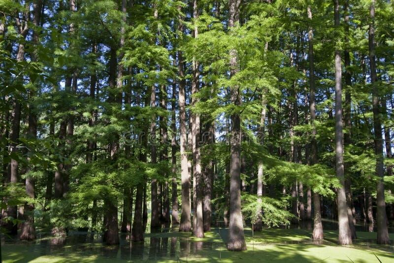 πλημμυρισμένο δάσος στοκ φωτογραφία