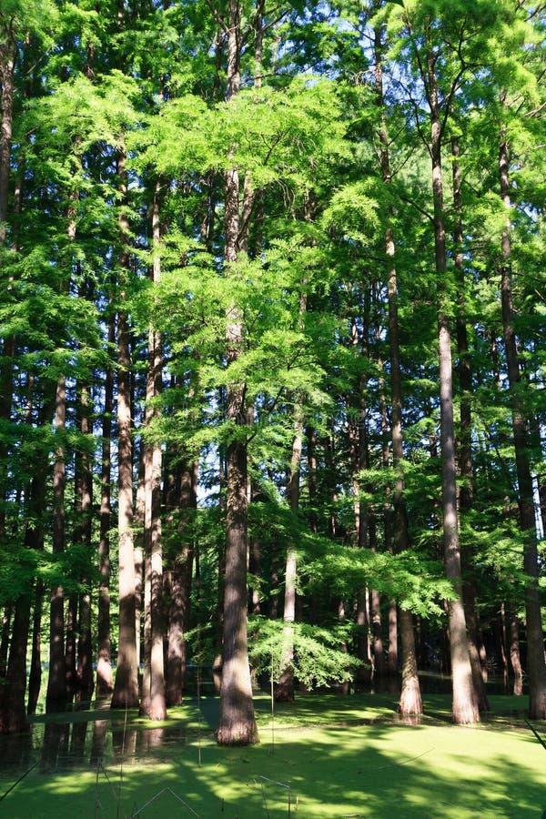 πλημμυρισμένο δάσος στοκ εικόνα
