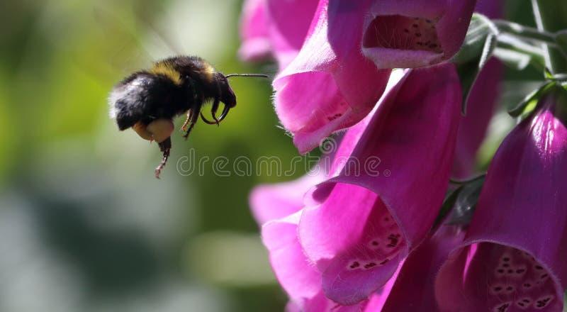 Πλησιάζοντας foxglove λουλούδια hortorum Bombus στοκ εικόνα