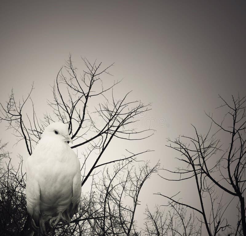 Ποιητικό άσπρο περιστέρι στοκ φωτογραφία με δικαίωμα ελεύθερης χρήσης