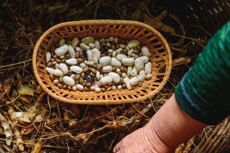 Ποικιλία λαβής της Farmer των φασολιών υπό εξέταση μετά από να συγκομίσει στοκ φωτογραφίες με δικαίωμα ελεύθερης χρήσης