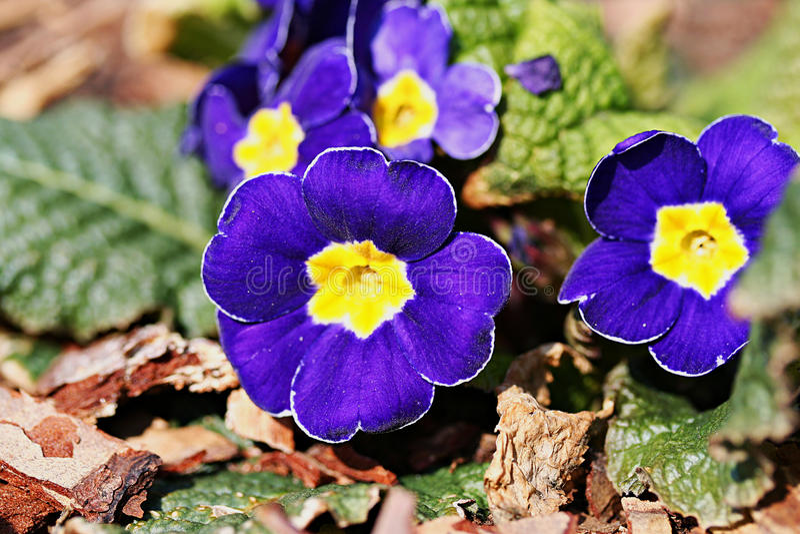 Ποικιλία primula κήπων στοκ φωτογραφία με δικαίωμα ελεύθερης χρήσης
