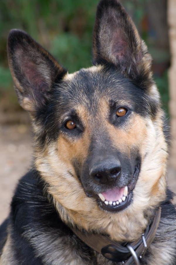 ποιμένας σκυλιών στοκ εικόνες με δικαίωμα ελεύθερης χρήσης