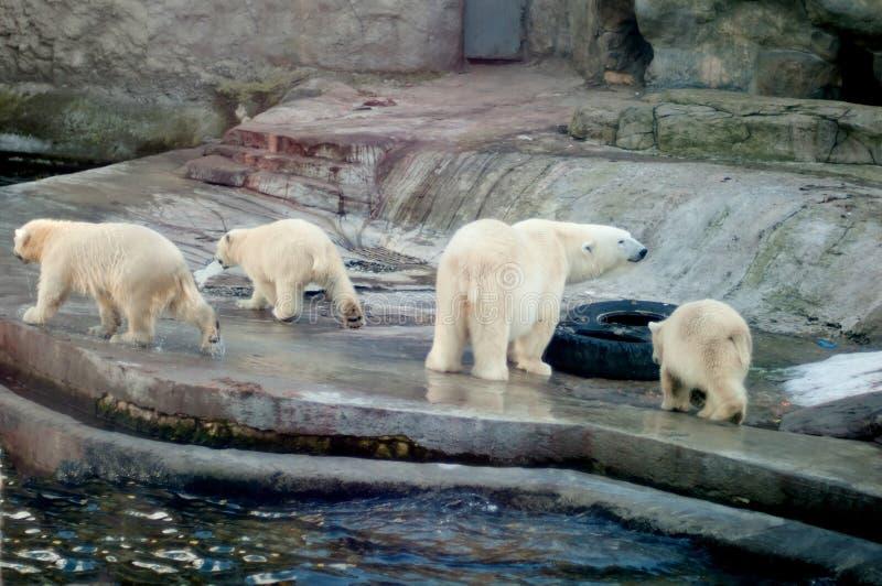 Πολικές αρκούδες στοκ φωτογραφία με δικαίωμα ελεύθερης χρήσης
