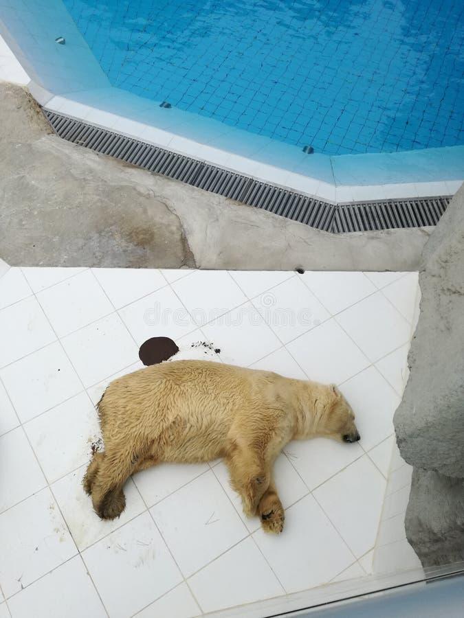 Πολική αρκούδα που είχε ένα ατύχημα στοκ εικόνες με δικαίωμα ελεύθερης χρήσης