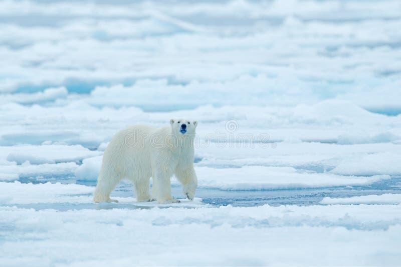 Πολική αρκούδα στην άκρη πάγου κλίσης με το χιόνι και νερό στη ρωσική θάλασσα Άσπρο ζώο στο βιότοπο φύσης, Ευρώπη Σκηνή άγριας φύ στοκ εικόνες με δικαίωμα ελεύθερης χρήσης