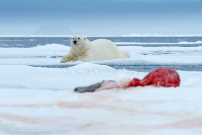 Πολική αρκούδα στον πάγο Επικίνδυνη πολική αρκούδα στο χιόνι με το σφάγιο σφραγίδων Σκηνή δράσης άγριας φύσης από την αρκτική φύσ στοκ φωτογραφία με δικαίωμα ελεύθερης χρήσης