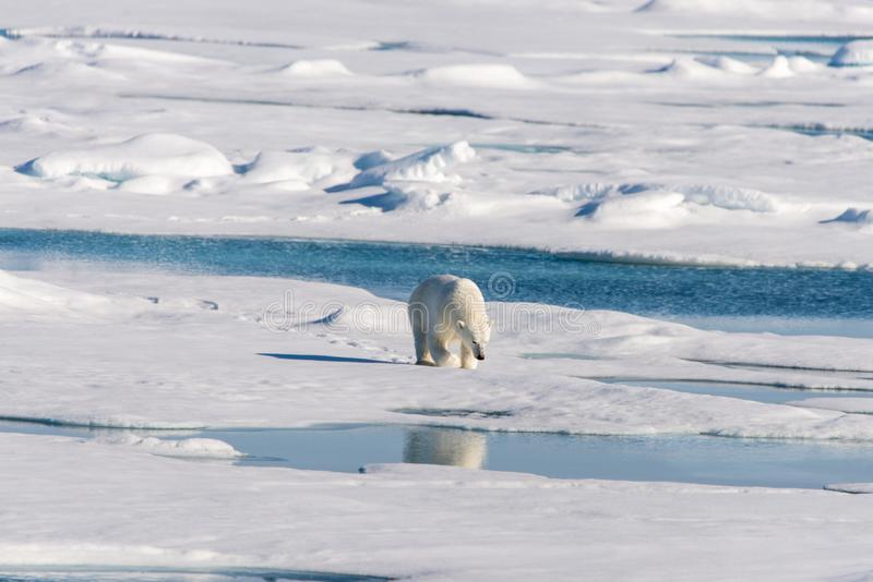 Πολική αρκούδα στον πάγο πακέτων στοκ φωτογραφίες