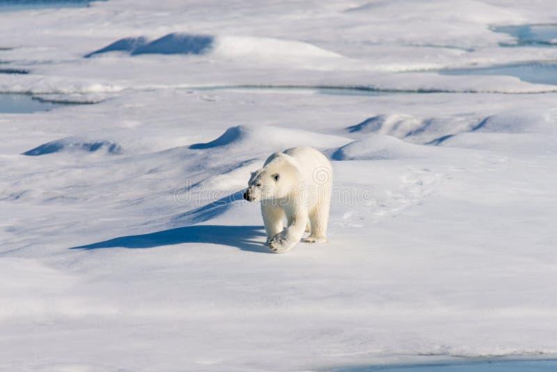 Πολική αρκούδα στον πάγο πακέτων στοκ εικόνες με δικαίωμα ελεύθερης χρήσης