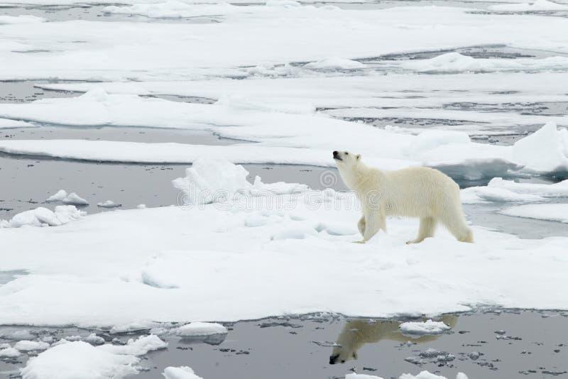 Πολική αρκούδα στοκ εικόνες με δικαίωμα ελεύθερης χρήσης
