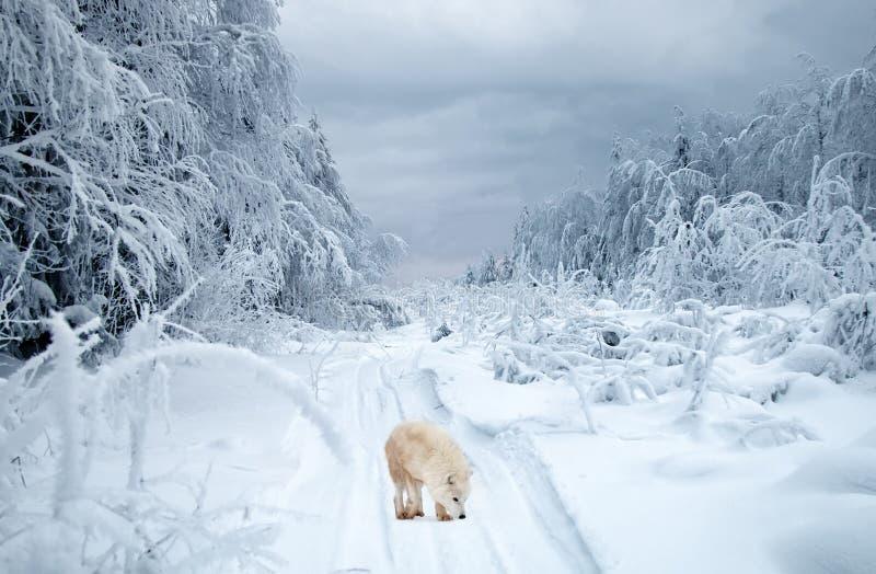 Πολικός λύκος στο taiga στοκ εικόνες
