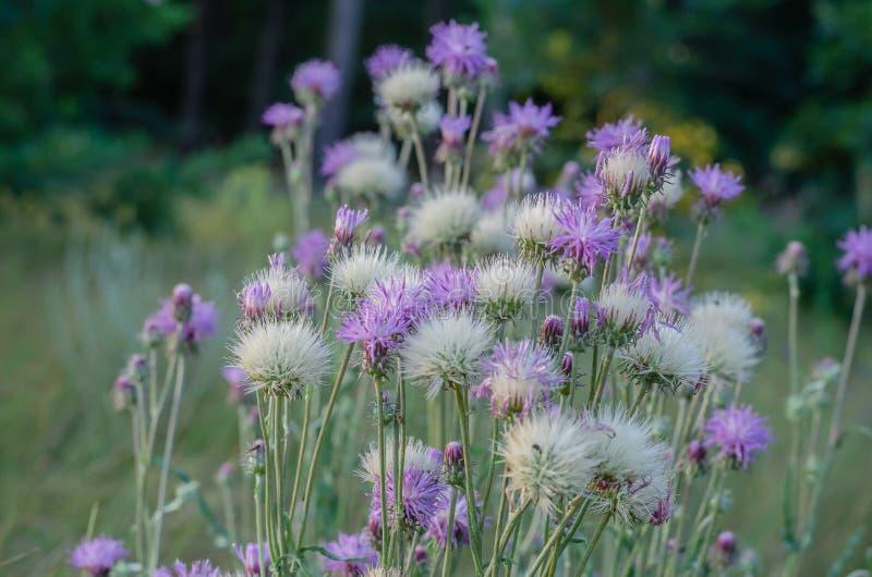 Πολλά άσπρα και τρυφερός-ιώδη wildflowers Moschata Amberboa Πυροβολισμός σε επίπεδο ματιών r : στοκ εικόνα