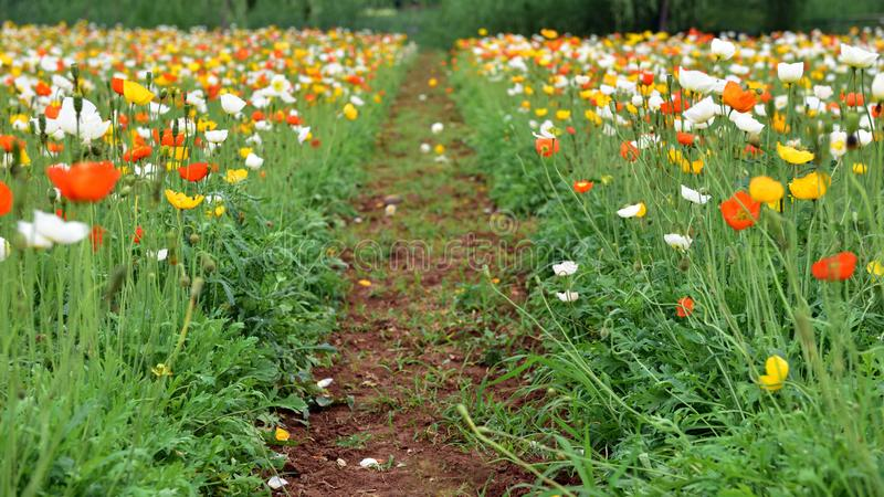 Πολλά ανθίζοντας λουλούδια παπαρουνών καλαμποκιού στοκ φωτογραφίες
