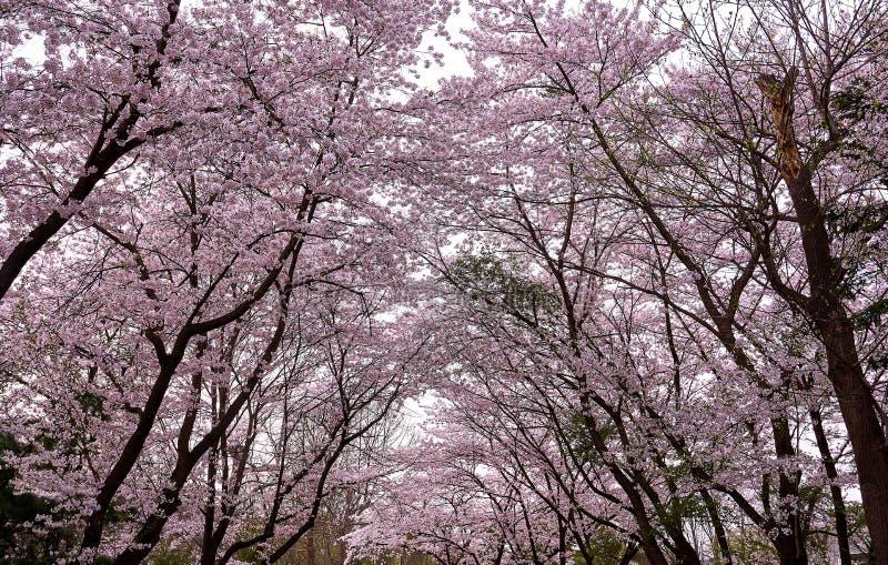Πολλά δέντρα ανθών κερασιών που δημιουργούν μια σχηματισμένη αψίδα πορεία στο δάσος στοκ φωτογραφία με δικαίωμα ελεύθερης χρήσης