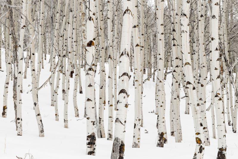 Πολλά δέντρα της Aspen με τον άσπρους φλοιό και το χιόνι στο δάσος χειμερινής φύσης στοκ φωτογραφίες