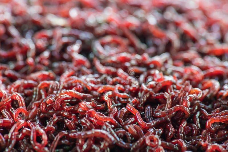 Πολλά ζωντανά σκουλήκια bloodworms είναι κόκκινη κινηματογράφηση σε πρώτο πλάνο στοκ φωτογραφία