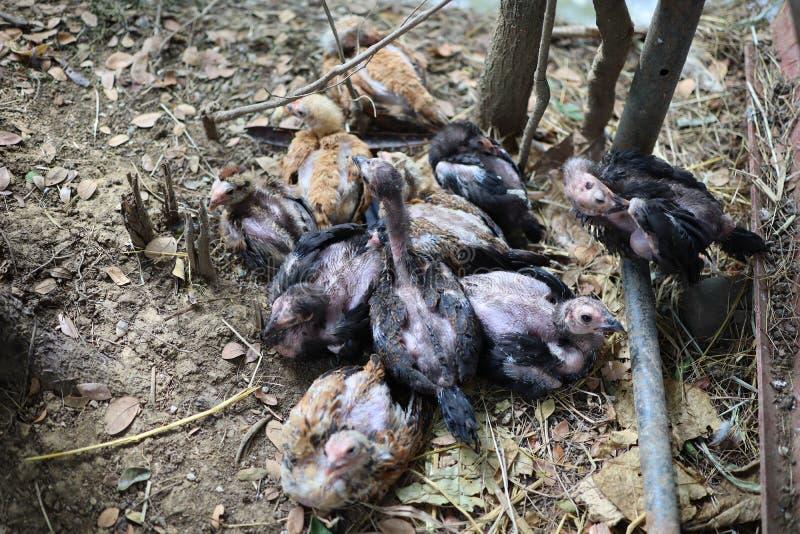 Πολλά κοτόπουλα ζουν μαζί στο αγρόκτημα στοκ φωτογραφία με δικαίωμα ελεύθερης χρήσης