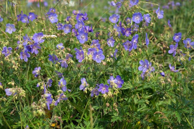Πολλά λουλούδια του λιβαδιού cranesbill {γεράνι pratense} ανθίζουν σε ένα πράσινο λιβάδι στοκ εικόνα