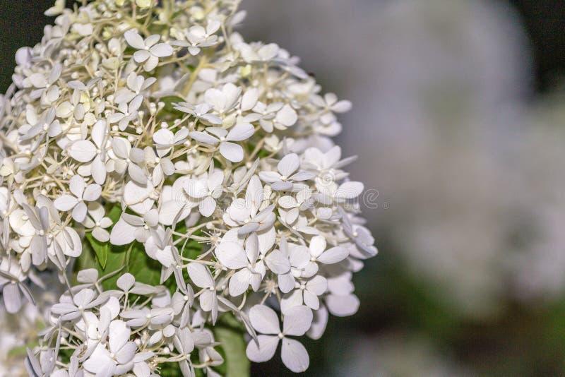 Πολλά μικρά άσπρα λουλούδια στην κινηματογράφηση σε πρώτο πλάνο στοκ εικόνα