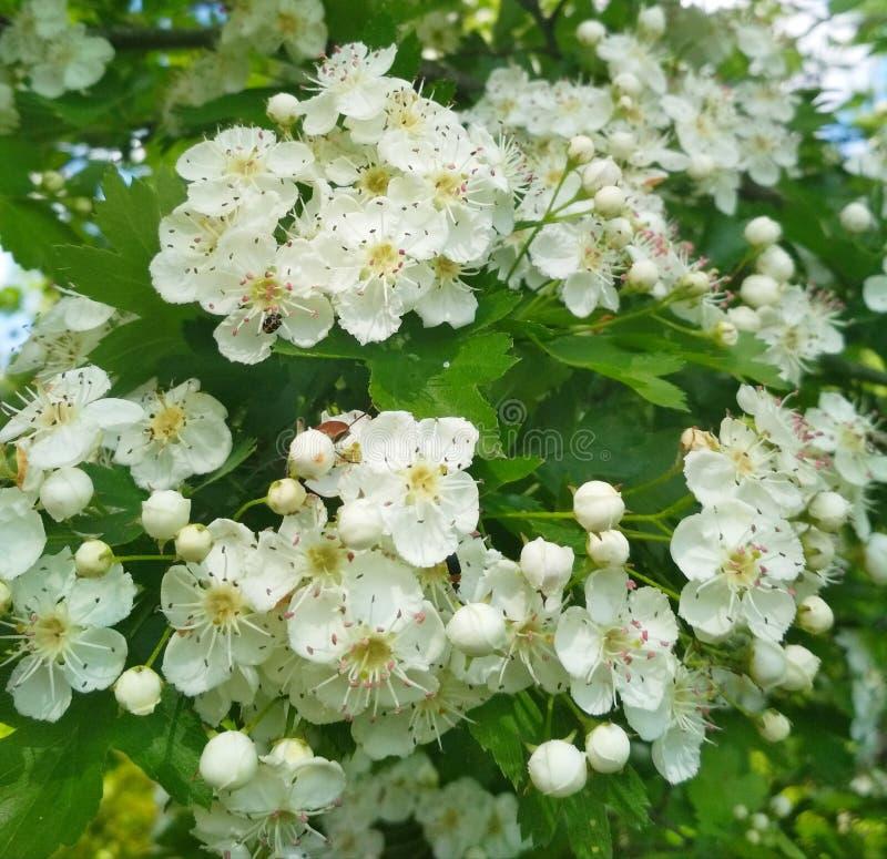 Πολλά μικρά άσπρα λουλούδια στο άνθος με τα ζωύφια σε τους στοκ φωτογραφίες με δικαίωμα ελεύθερης χρήσης