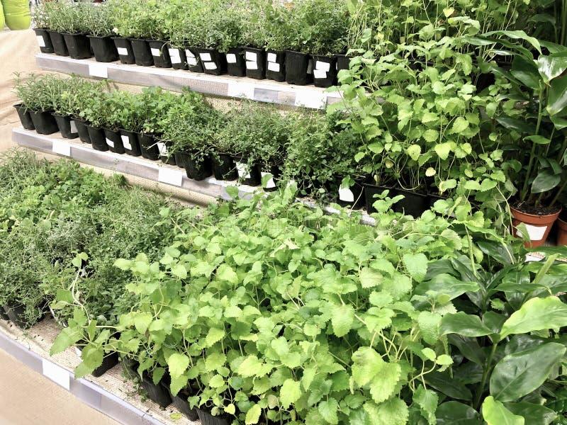 Πολλά σπορόφυτα πράσινων εγκαταστάσεων στα πλαστικά κιβώτια στοκ φωτογραφία