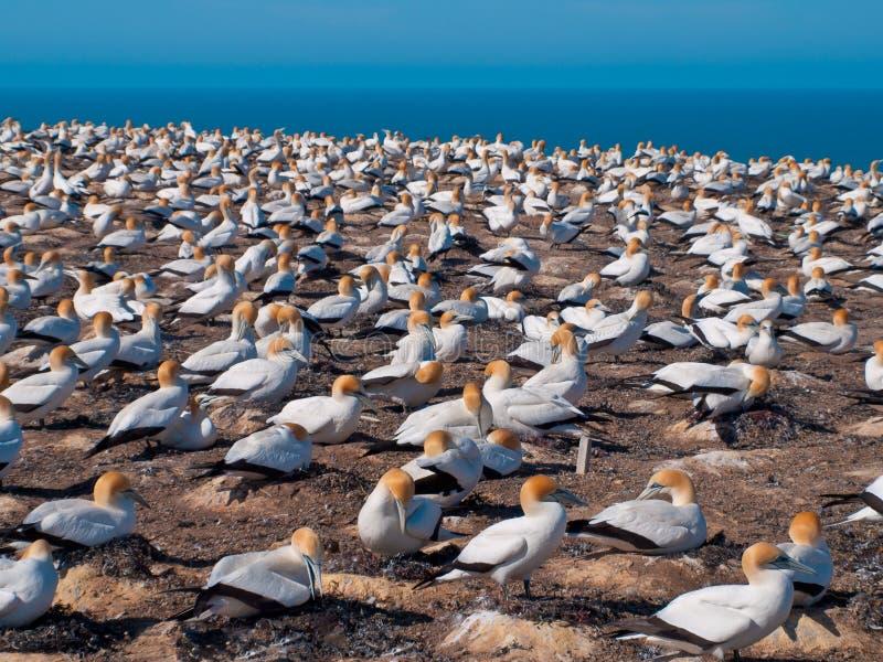 πολλά gannets στην αποικία Νέα Ζηλανδία αναπαραγωγής στοκ φωτογραφία με δικαίωμα ελεύθερης χρήσης