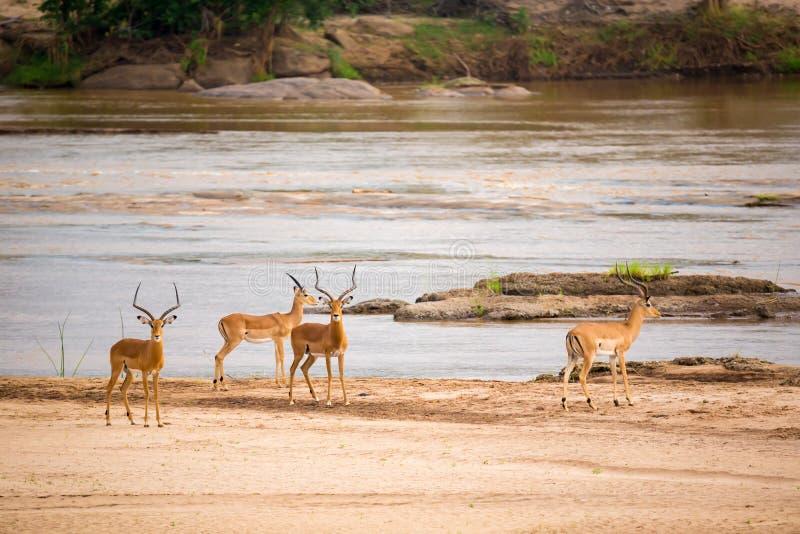 Πολλές αντιλόπες που στέκονται κοντά στον ποταμό στοκ εικόνες