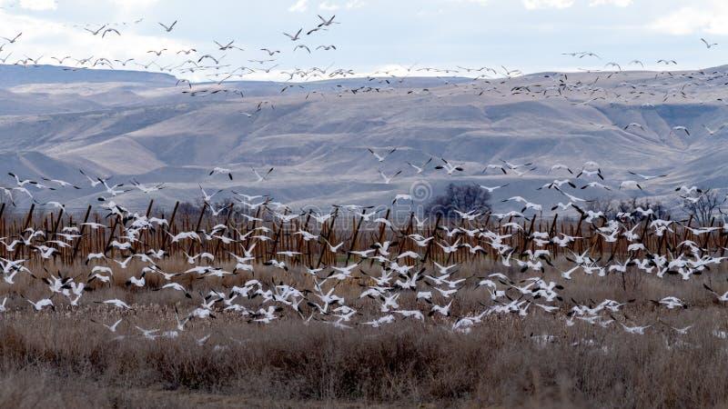 Πολλές χήνες χιονιού τρέπονται σε φυγή στο βράδυ πέρα από το καλλιεργήσιμο έδαφος στοκ φωτογραφία