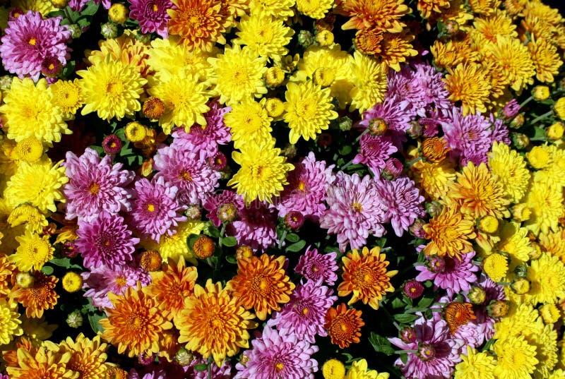 Πολλαπλάσιο χρωματισμένο υπόβαθρο λουλουδιών μαργαριτών στοκ φωτογραφία