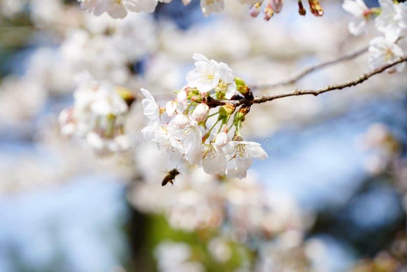 Πολυάσχολη μέλισσα στην άνοιξη στοκ εικόνα