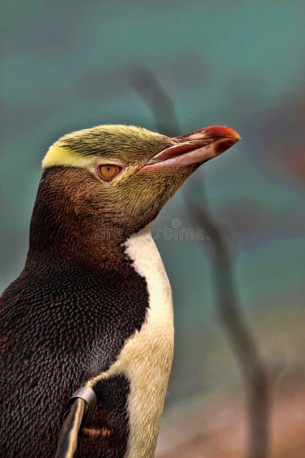 Πολυτιμότερη διαβίωση penguin, κίτρινος-eyed penguin, αντίποδες Megadyptes, Νέα Ζηλανδία στοκ φωτογραφία με δικαίωμα ελεύθερης χρήσης