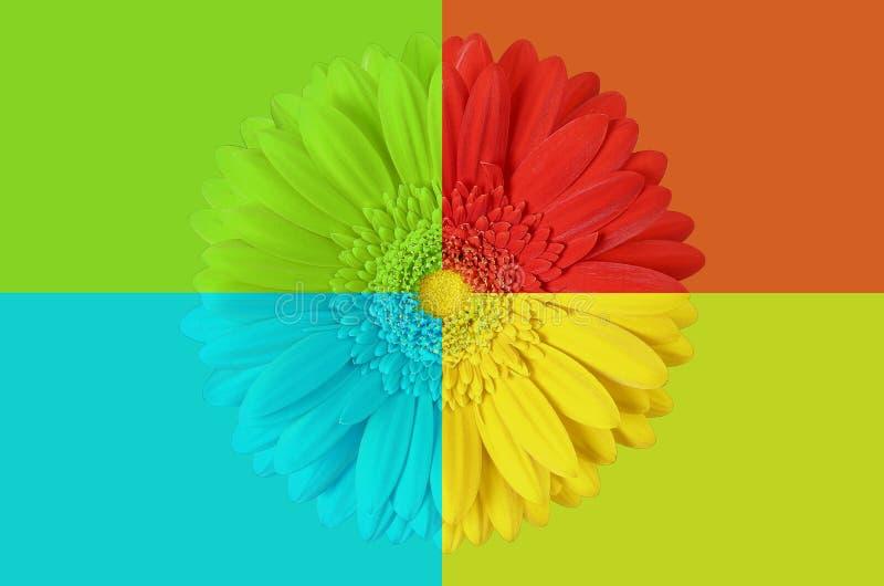 Πολυ χρωματισμένο λουλούδι gerbera στοκ φωτογραφία με δικαίωμα ελεύθερης χρήσης
