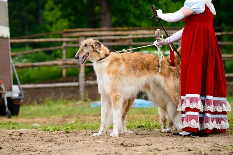 Πολωνικό Greyhound σκυλί στοκ φωτογραφία με δικαίωμα ελεύθερης χρήσης