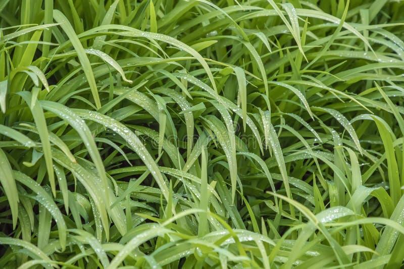 Πολύβλαστη πράσινη χλόη που καλύπτεται στη δροσιά ξημερωμάτων στοκ εικόνα με δικαίωμα ελεύθερης χρήσης