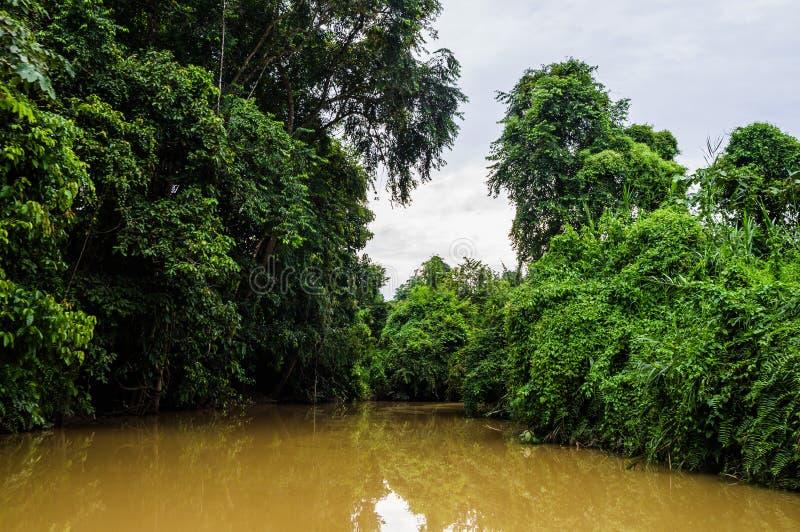 Πολύβλαστο τροπικό δάσος κατά μήκος του κίτρινου νερού Sabah, Μπόρνεο Μαλαισία στοκ εικόνες