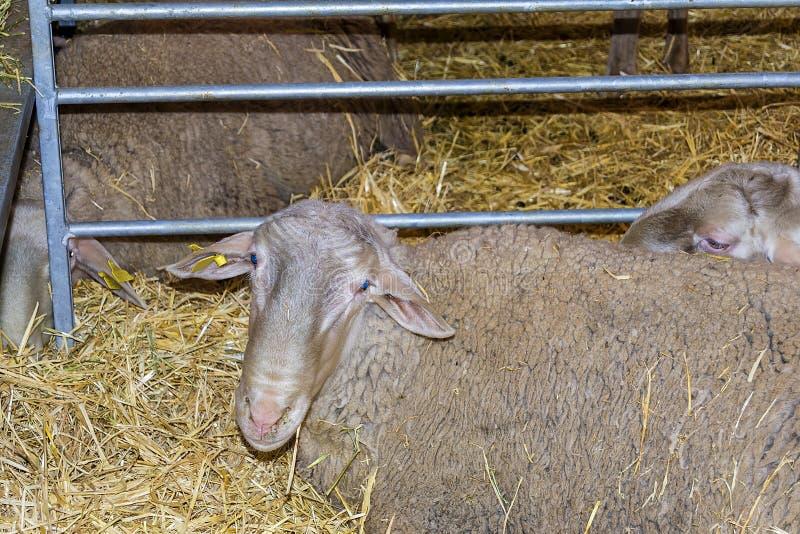 Πολύτιμα πρόβατα, ζώο αγροκτημάτων, στις πτυχές μαζί με το ένα άλλο s στοκ εικόνες
