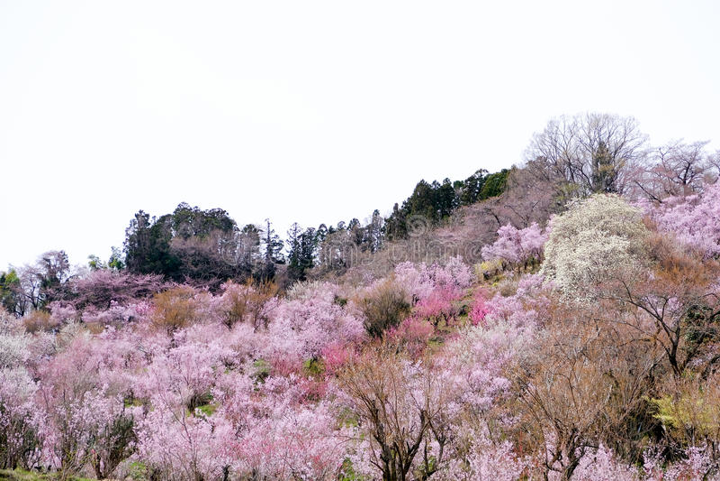 Πολύχρωμα ανθίζοντας δέντρα που καλύπτουν τη βουνοπλαγιά, πάρκο Hanamiyama, Φουκουσίμα, Tohoku, Ιαπωνία στοκ φωτογραφία με δικαίωμα ελεύθερης χρήσης