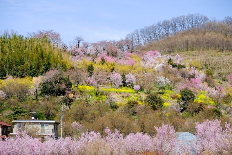 Πολύχρωμα ανθίζοντας δέντρα που καλύπτουν τη βουνοπλαγιά, πάρκο Hanamiyama, Φουκουσίμα, Tohoku, Ιαπωνία στοκ φωτογραφία