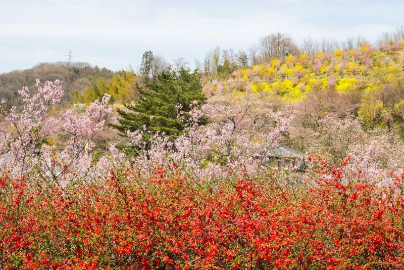 Πολύχρωμα ανθίζοντας δέντρα που καλύπτουν τη βουνοπλαγιά, πάρκο Hanamiyama, Φουκουσίμα, Tohoku, Ιαπωνία στοκ εικόνες με δικαίωμα ελεύθερης χρήσης