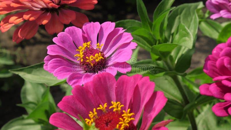 Πολύχρωμα λουλούδια στο πάρκο το καλοκαίρι Όμορφη άνθιση tsiniya λουλουδιών στον κήπο επιχείρηση λουλουδιών r στοκ φωτογραφία με δικαίωμα ελεύθερης χρήσης