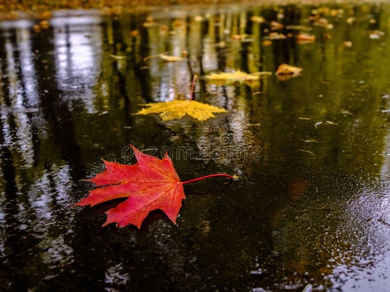 Πολύχρωμα πεσμένα φύλλα σφενδάμνου κείτονται στην υγρή άσφαλτο σε μια λίμνη Φθινοπωρινός βροχερός καιρός σε δρόμο της πόλης στοκ εικόνα με δικαίωμα ελεύθερης χρήσης